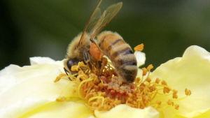 Ett bi samlar pollen från en ros i trädgård i Japan