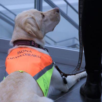 Labradorinnoutaja Sulka on 9kk ikäinen, jos se todetaan sopivaksi, siitä koulutetaan opaskoira.