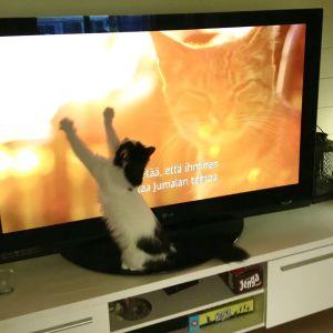 Kissa katsoo dokumenttia Istanbulin kissat.