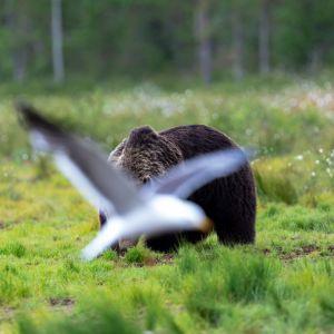 Lokki lentää karhun pään edestä