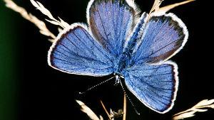 En blå fjäril mot svart bakgrund. Vingarna har en smal vit ytterkant och innanför den en ännu smalare svartbrun linje.