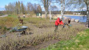 Tre personer gör trädgårdsarbete bland blombänkar med rosenbuskar. I bakgrunden synns en strand.