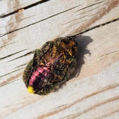 En insekt med hår och svarta, gröna, gula och röda färger ligger på rygg på en bräda.