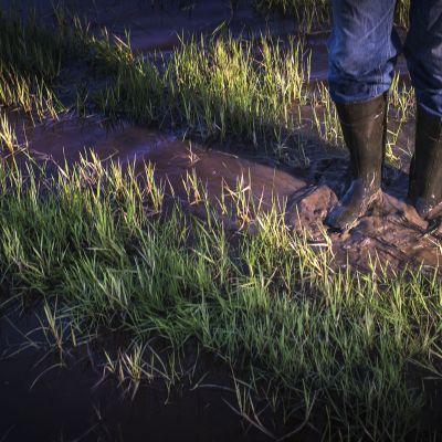 Maanviljelijä saappaineen märässä ohrapellossa.