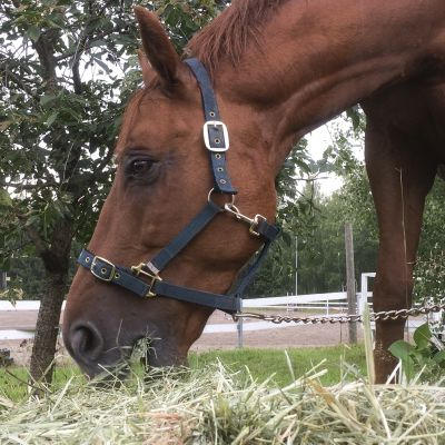 Hevonen syö kuivaheinää