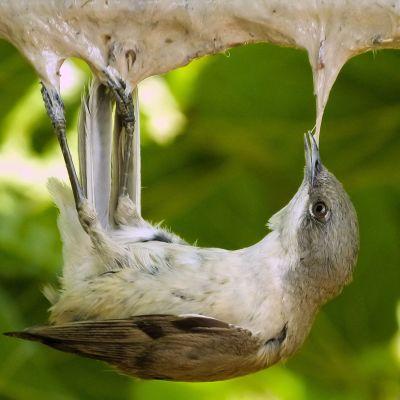 Lintu kiinni ansassa.