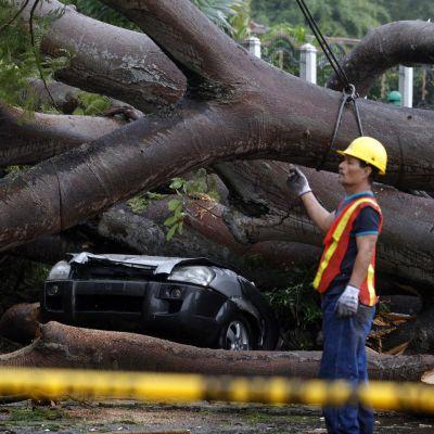 Hirmumyrsky Oton kaatama puu Panama Cityssä 22. marraskuuta.
