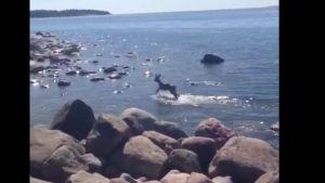 Ett rådjur hoppar upp ur vattnet vid en strand.