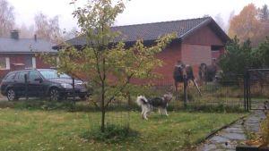 Två älgar och en hund med ett staket mellan sig på en gårdsplan med gräs och stenbeläggning.