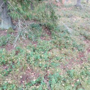 Det är en spiral upptrampat runt en gran i Ann-Maris skog. Vilket djur gör dylikt spår?