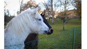 Wiurilan hevosia kotikonnuillaan syksyllä 2018.