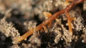 Kuusen mykorritsasieniä