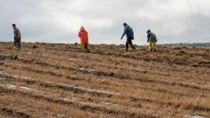 På hösten plockas skyddsplasten bort från ett jordgubbsland i Ingå