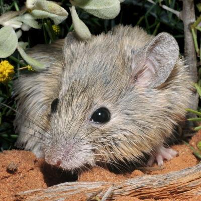 Shark Bay:n hiiri.