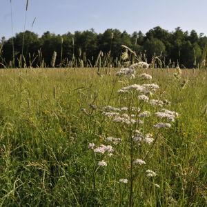 En äng i Gerknäs i Lojo en solig sommardag.