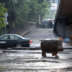 En flodhäst på rymmen i Tbilisi, Georgien efter översvämningar som dödat minst åtta personer.