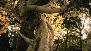 Två trädstammar slingrar sig runt varandra.