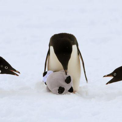 Kolme jääpingviiniä ja lelu.