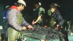 Arbetsförhållandena på vingårdar kan vara mycket dåliga.