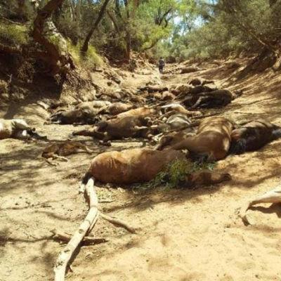 Vilda hästar som dött vid ett uttorkat vattenhål nära Santa Teresa i territoriet Northern Territory.