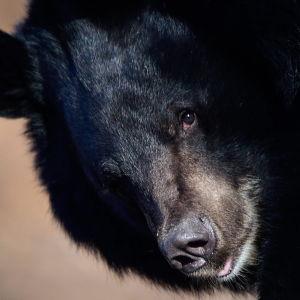 En svartbjörn i närbild.