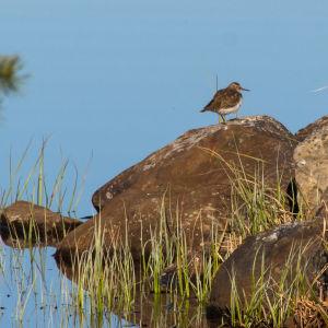 En strandfågel sittande på en sten.