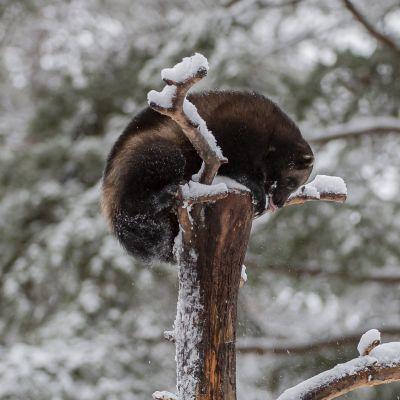 Julia-ahma on kiivennyt puuhun Ähtärin eläintarhassa