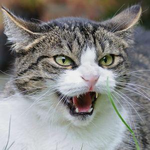 Katten fräser