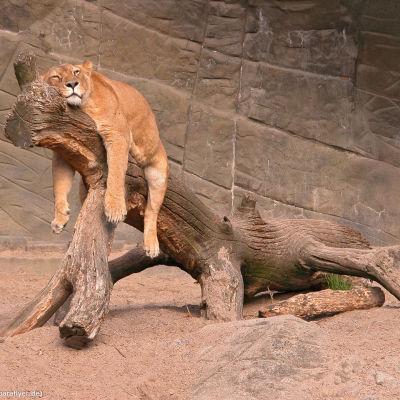 Lejon vilar sig på gren
