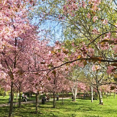 Kirsikkapuita.