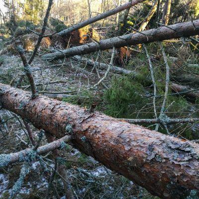 kaatuneita puita metsässä