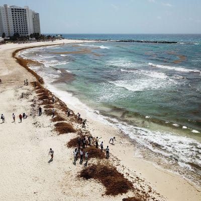 Rantaa siivotaan merilevästä Quintana Roossa Meksikossa.