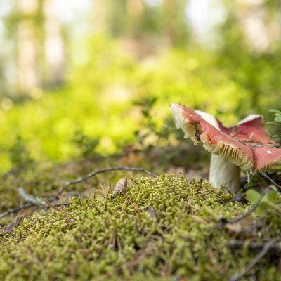 Sieni metsässä.
