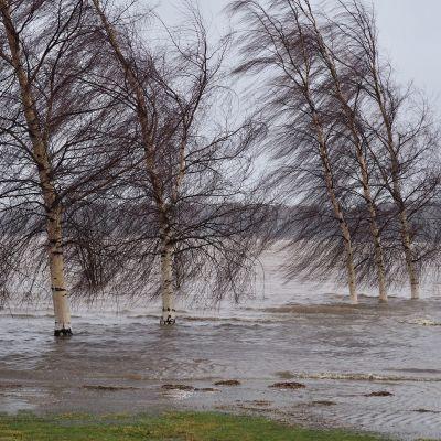 Helsingin Arabianrannan koivujen ympärillä lainehti vesi viime viikonloppuna.