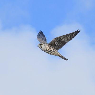 Muuttohaukka lentää yksin taivaalla.