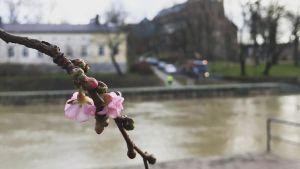 Kirsikkapuu kukkii Turun Aurajoella 17.2.2020.