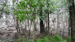 En bild av skog där skarven häckar. Lite grönt i förgrunden.