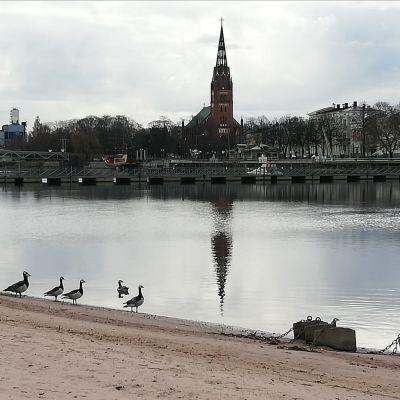 Valkoposkihanhia menossa uimaan jokeen Porin Kirjurinluodon uimarannalla.n
