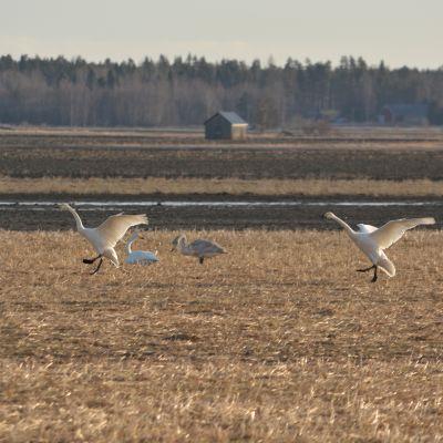 Laulujoutsenpari laskeutuu Söderfjärdenin pellolle.