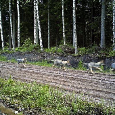 Salon ja Raaseporin rajaseudulla on elellyt reilun vuoden verran susipari. Parin todennäköiset jälkeläiset ilmestyivät paikallisen metsästysseuran riistakameraan pari viikkoa sitten. Kyseessä on tiettävästi alueen ensimmäinen susipentue yli sataan vuoteen, arvioi Suomen Metsästäjäliitto. Susiperheen reviiri on samalla Suomen eteläisin.