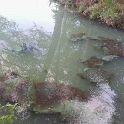 Sinileväkasvustoja Hollolan Vähä-Tiilijärvessä