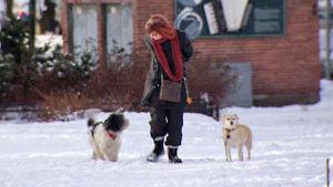 Anne-Marie Vartti ulkoiluttaa koiria