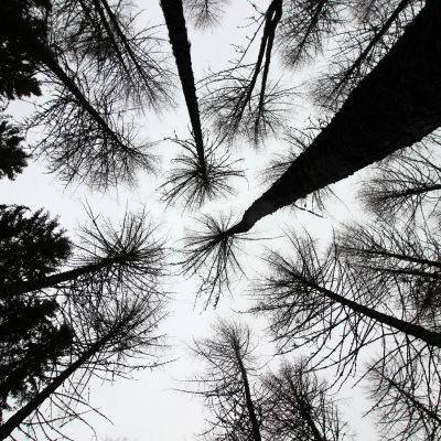 Puun paksuus voi vaihdella 1-2 millimetriä saman vuorokauden sisällä.