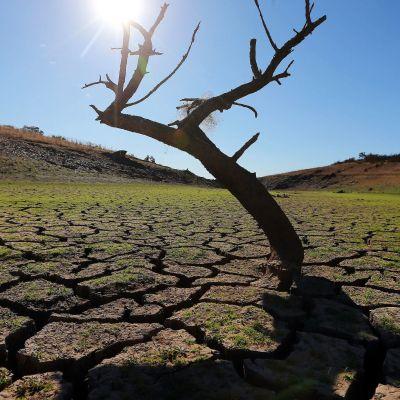 Kuivuudesta kärsivä puu Redondossa, Portugalissa.