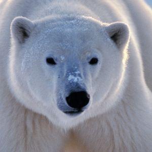 Ovatko jääkarhut kuolemassa sukupuuttoon, kun niiden elinympäristö, jäätikkö, sulaa pois?
