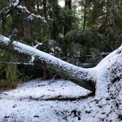 Ett träd som har fallit över en elledning.