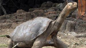 Jättesköldpaddan Ensamme George.