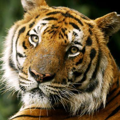 Tiikeri.