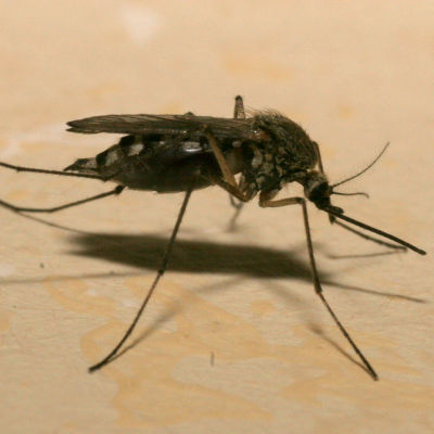 En mygga.