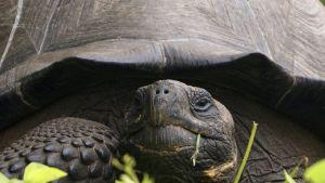 Ny art av jättesköldpadda hittad på Galapagosöarna.